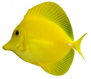yellow fish name